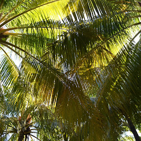 Coconut tress by Luis Albanes - Nature Up Close Trees & Bushes