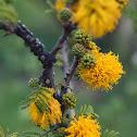 Espino (flores)