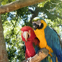 Scarlet & Blue and Yellow Macaw