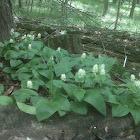 Canada mayflower