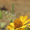 Desert white butterfly