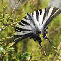 scarce swallowtail; mariposa cebrada