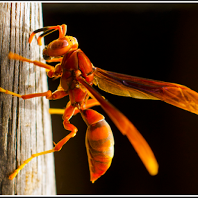 Marimbondo by Claudio Maranhao - Animals Insects & Spiders ( recife,  )