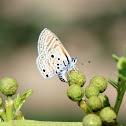 Velvet-spotted Blue
