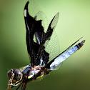 Portia widow (male)
