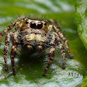 Hyllus Jumping spider (Male)