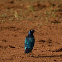 Superb Starling staring
