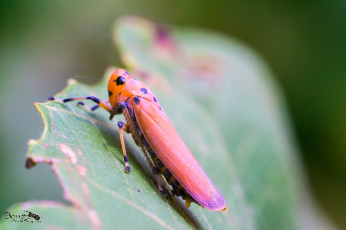 common  red leafhopper