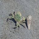 Green Shore Crab