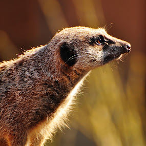 Meercat by Ian Groves - Animals Other