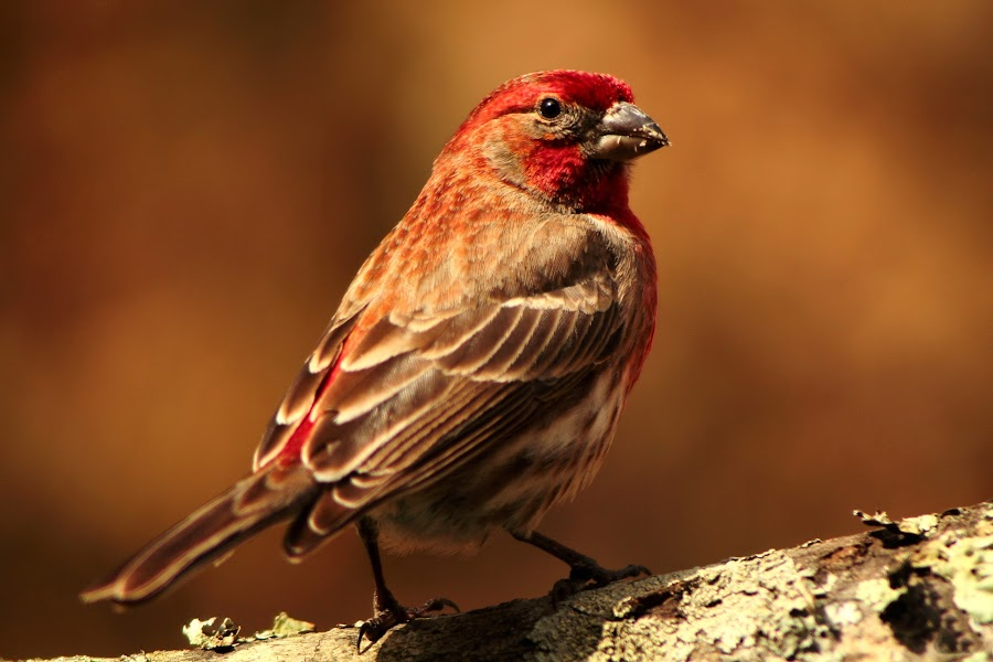 House Finch by Paul Mays - Animals Birds ( bird, wing, nature, finch, kentucky,  )