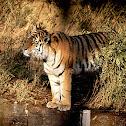 Siberian/Amur Tiger