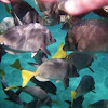 Yellowtail Surgeonfish
