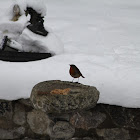 Robin Red Breast (European Robin)