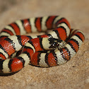 Great Plains Milksnake