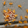 Newborn Assassin Bugs
