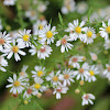Oldfield Aster