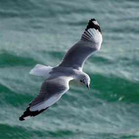 Searching by Golam Kibria Sumon - Animals Birds ( bird, gull, bangladesh, nature, seagulls, sea, birds, animal )