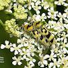 Wasp Beetle
