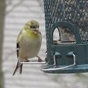 American Goldfinch (Winter)