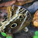 Atreus Owl Butterfly