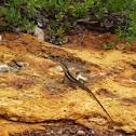 Tata Lizard