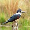Ringed Kingfisher - female