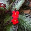Flame Violet