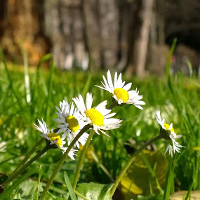 daises in december by Lejla Hadziabdic - Flowers Flowers in the Wild ( #flowers #daises #park #springindecember #colors )
