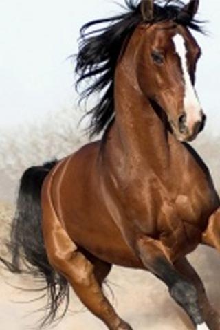 アラビアの馬の壁紙