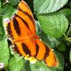 Banded Orange Heliconian / Orange Tiger Butterfly