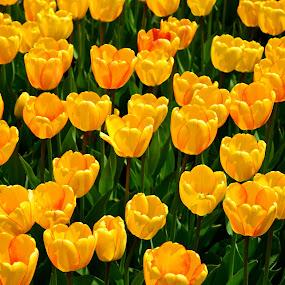 Yellow Tulips by Carl Testo - Flowers Flower Gardens ( yellow tulips, sunlight, spring, garden )