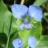 Commelina  Flowers