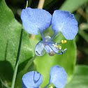 Commelina  Flowers