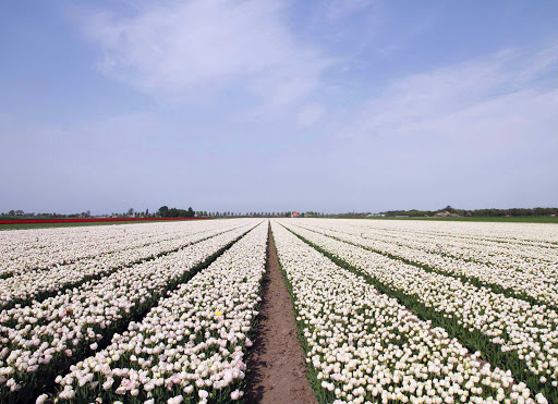A field of tulips in Beemster Polder, north of Amsterdam in the Netherlands.
