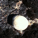 Soft shelled clam