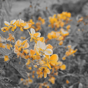 Yellow Selecetive by Rahul Savaliya - Nature Up Close Gardens & Produce ( new, selective, nature, color, white, yellow, latest, garden, black, flower,  )