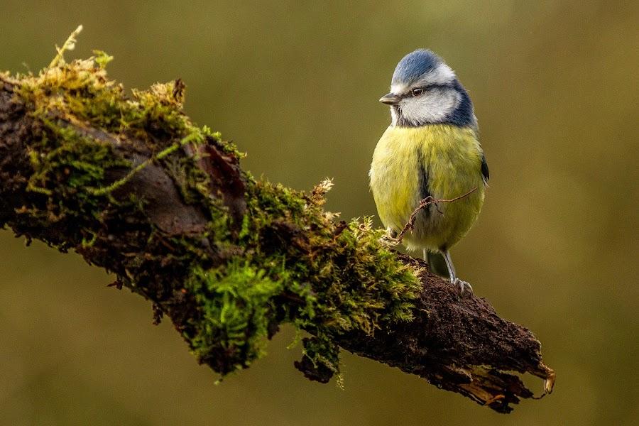 Blue Tit by Terry Hanna - Animals Birds ( winter, stick, branch, perch, blue tit,  )