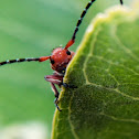 Long Horned Milkweed Beetle