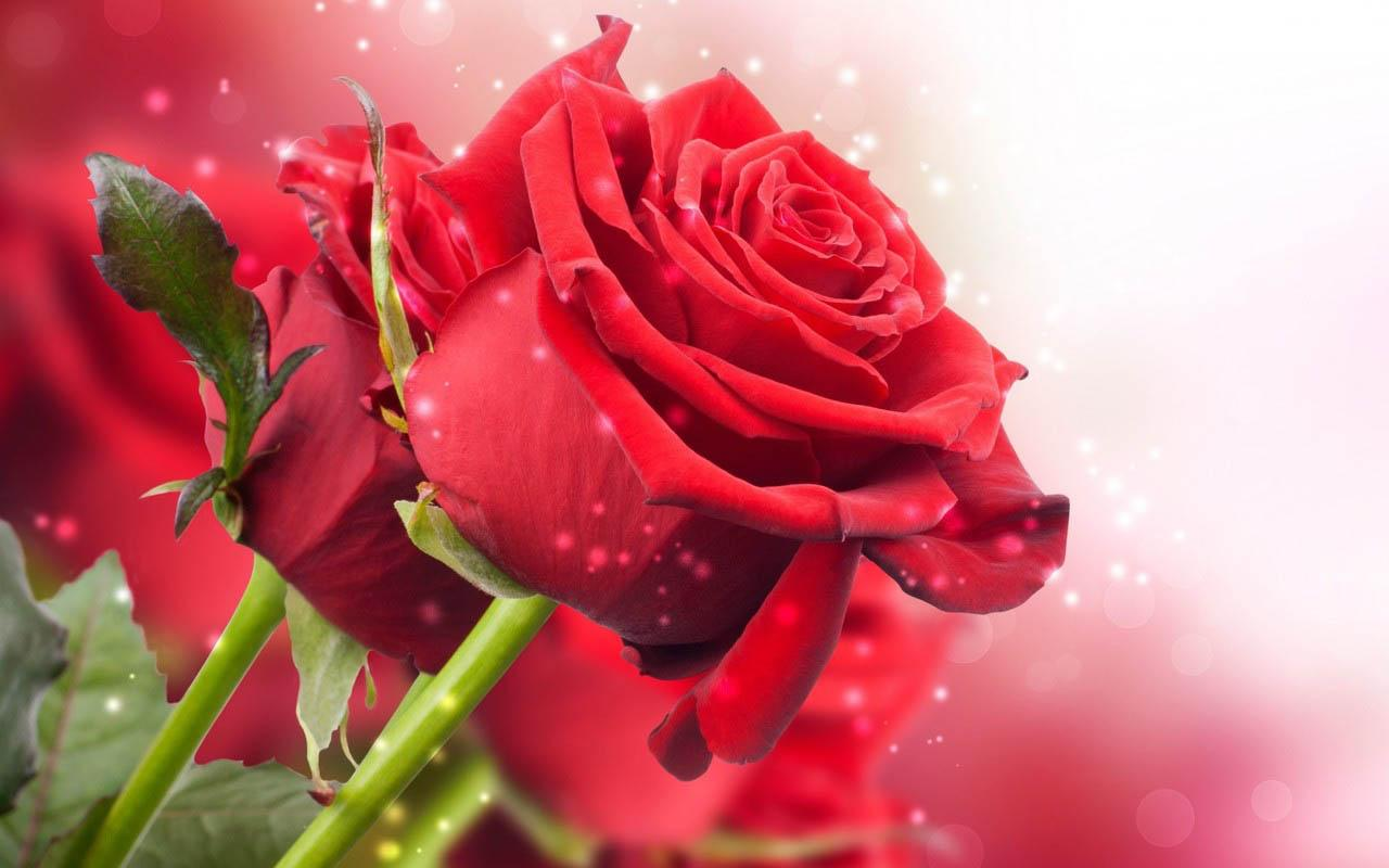 Hd for desktop nice rose mobile wallpapers 3d rose wallpaper free - 3d Rose Screenshot