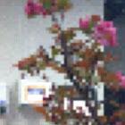 Bonsai crab apple tree