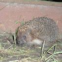 East European Hedgehog/White-bellied Hedgehog/White-chested Hedgehog