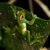 Jade Tree Frog