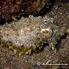 Stumpy-spined Cuttlefish, Dwarf Cuttlefish