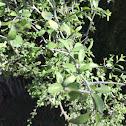 Greythorn