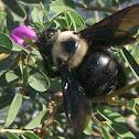 Xylocopa Apidae