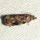 Verbena Bud Moth