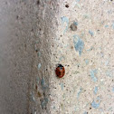 Seven-spotted Lady Bug