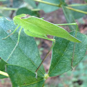 Round-Headed Katydid