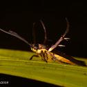 Scythridid Moth or Flower Moth